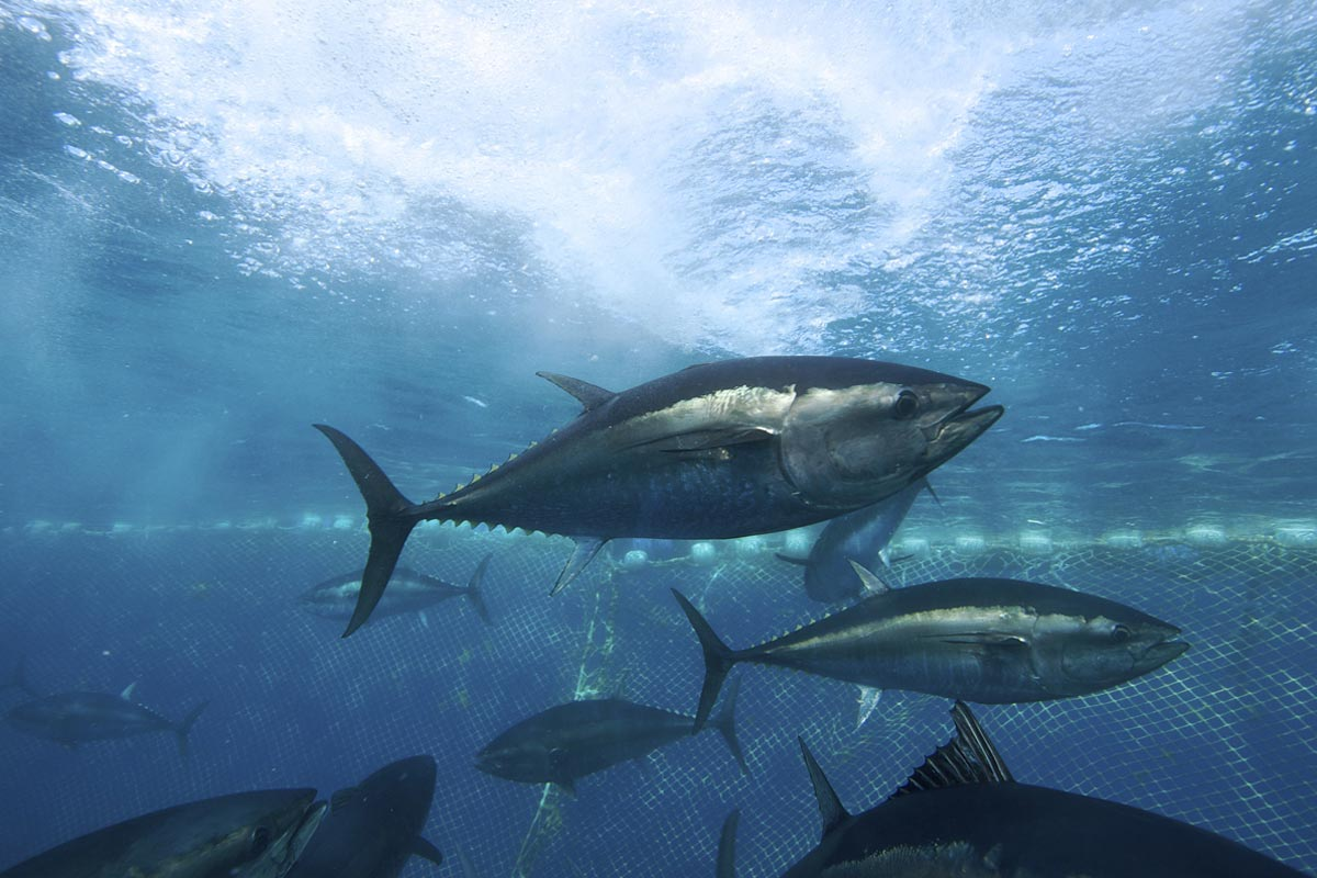 Overfishing fish and bluefin tuna